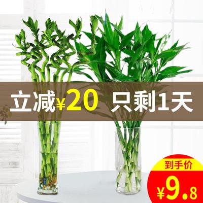 水培植物富贵竹大叶转运竹观音水养竹子室内水生绿植盆栽净化空气