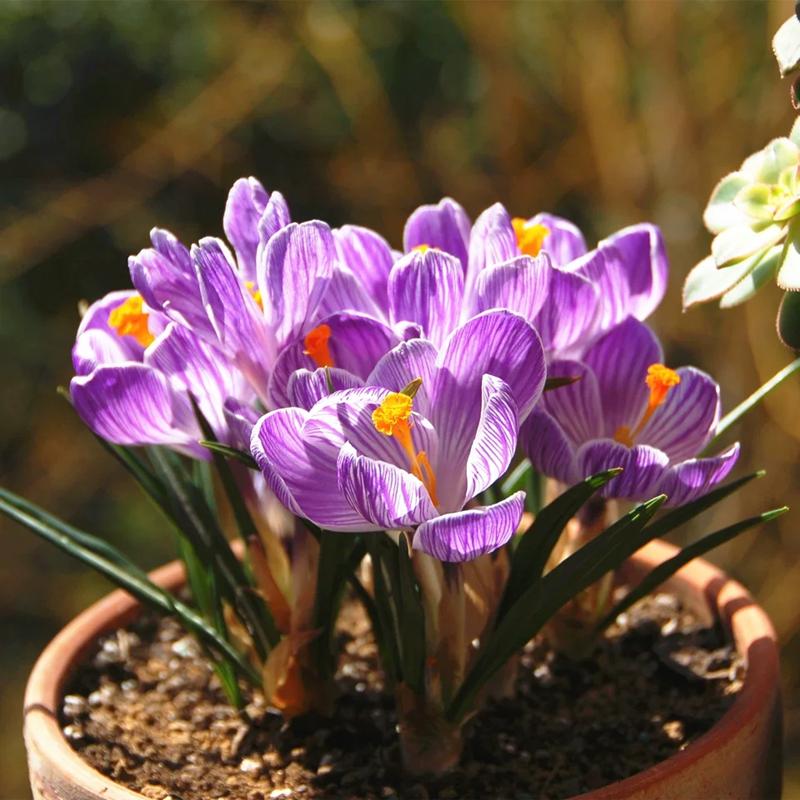 Цветочные луковицы Артикул 594747738102