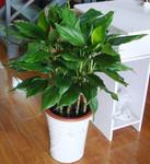 萬年青 綠巨人盆栽四季常青室內客廳大型盆景綠植大葉花卉 吸甲醛