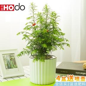 红豆杉盆景阳台绿植花卉办公室客厅卧室桌面盆栽自动吸水带盆栽好