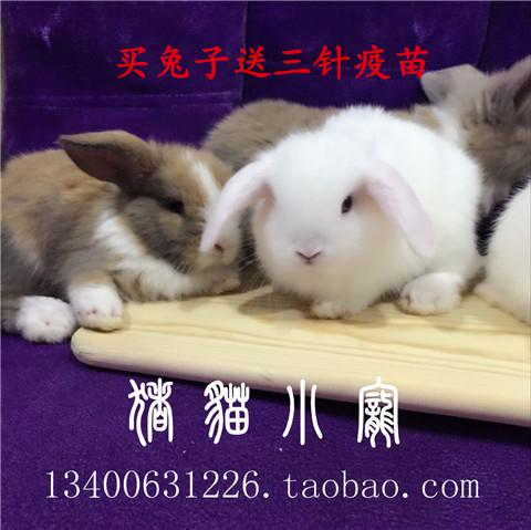 垂耳兔长耳兔