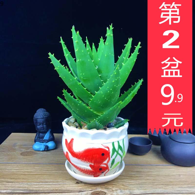 芦荟盆栽办公室防辐射吸甲醛植物办公室小盆栽四季常青盆景