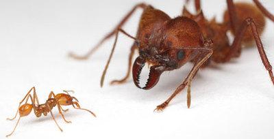 阿塔切叶蚁Atta sexdens 宠物蚂蚁活体