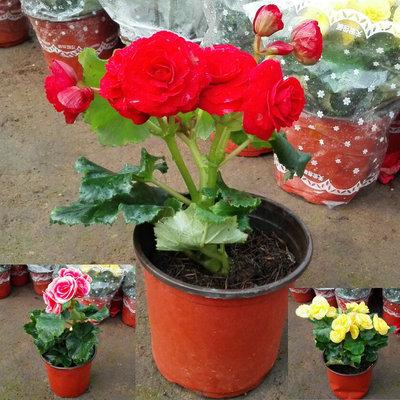 进口丽格海棠玫瑰海棠室内盆栽花卉 四季秋海棠花苗重瓣带花发货