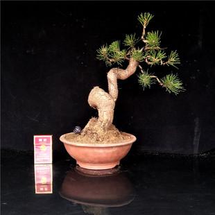 精品日本黑松盆景树桩老桩松树盆景室内五针松迎客松盆景盆栽花卉