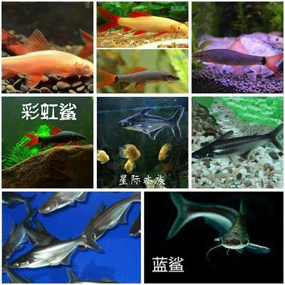 蓝鲨鱼斧头鲨彩虹鲨粉红鲨观赏鲨热带鱼正宗斧头鲨鱼 汗鲨