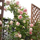 月季花苗粉色龙沙宝石爬藤植物阳台庭院玫瑰蔷薇花苗盆栽花卉