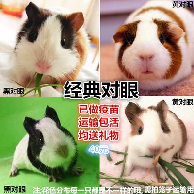豚鼠荷兰猪活体荷兰鼠段顺宠物活体出售天竺鼠鼠宝宝需拍笼子运输