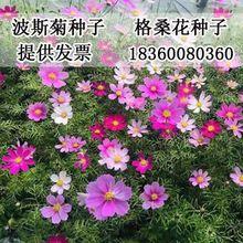 波斯菊种子格桑花种子混色野花组合种子绿化景观草花种子四季易种