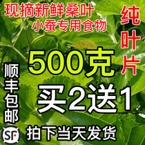 Silkworm Turtle Turtle Wild Planting silkworm baby rations mulberry leaf 2 Jin edible rations 500g1 Jin fresh now pick