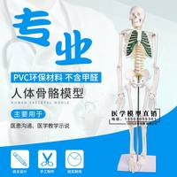Human Skeleton Model 45 85CM Skeleton Model Human Spine Spinal Model Hospital Skeleton