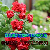 藤本月季花苗新品种【红龙沙宝石】红色龙沙宝石大花盆栽月季苗