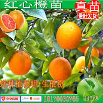 Red heart Orange seedlings fruit trees umbilical Orange seedlings grafted Orange seedlings garden plant path trees fruit trees