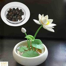 Lotus seeds lotus seeds lotus seeds bowl lotus seeds set