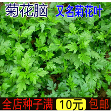Chrysanthemum seed chrysanthemum leaf seed chrysanthemum waterlogging chrysanthemum vegetable seed perennial multiple picking rapeseed and wild vegetables