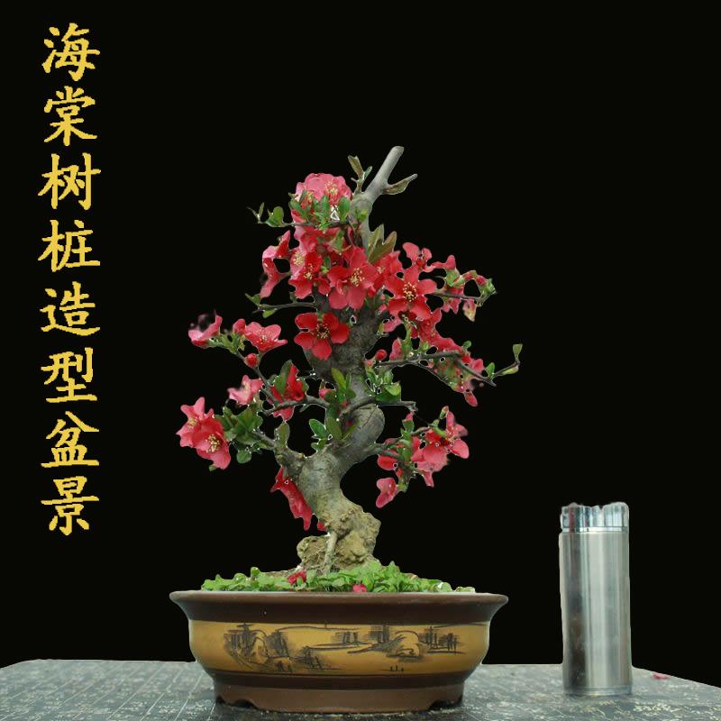 木瓜树盆栽