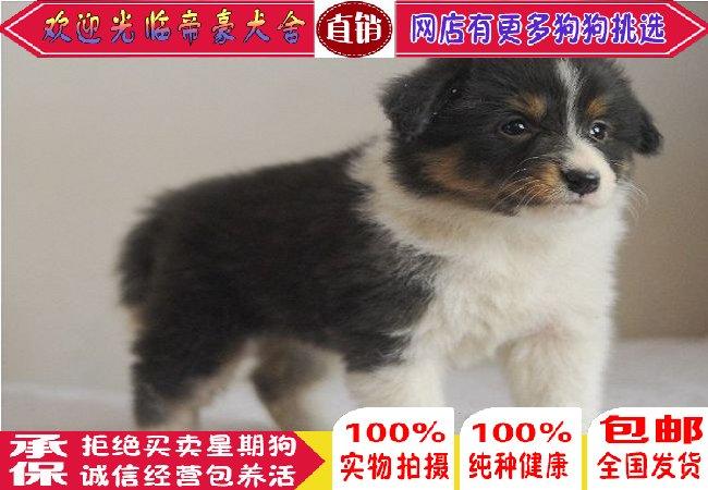 贵阳纯种活体幼犬边境牧羊犬中毛中型犬畜牧犬宠物狗狗出售