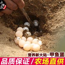 120枚正宗农家野外散养营养土鳖蛋新鲜甲鱼蛋王八蛋宝宝辅食营养