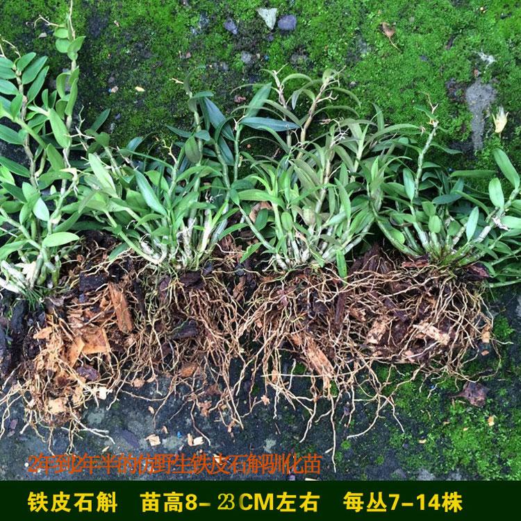 雁荡山红杆铁皮石斛苗盆栽2-3年野生驯化苗种苗枫斗一丛7-12株苗