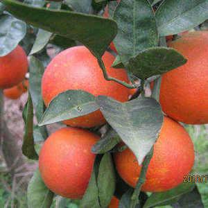 瑜珂 橙子树苗 珍稀新品种红肉脐橙苗卡拉卡拉脐橙树苗
