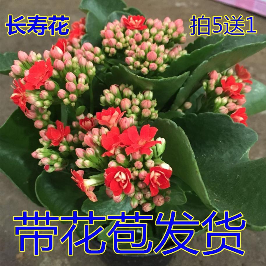 精品長壽花盆栽重瓣大花帶花包郵 四季客廳內植物凈化空氣吸甲醛
