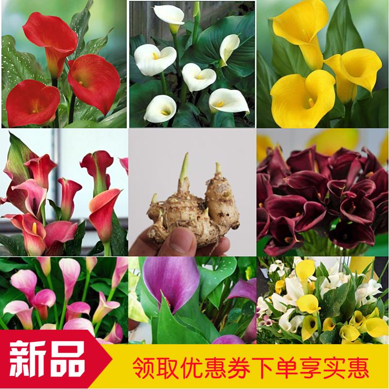 Цветочные луковицы Артикул 597360285757