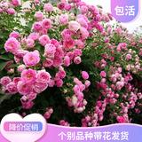 爬藤花卉植物蔷薇花苗藤本爬藤月季阳台盆栽玫瑰四季开花欧月花苗