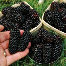 Thornless Blackberry Seeds ,Delicious ,Nutritious, Sweet, Na