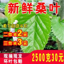 包邮 蚕宝宝饲料鲜嫩小蚕大蚕桑叶当天现摘500克1斤桑树叶 新鲜桑叶