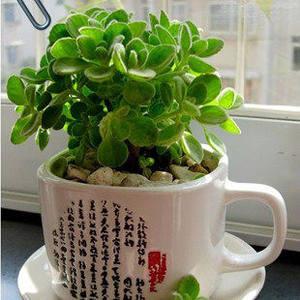 【誉满园】香草花卉 一碰就香 碰碰香 碰碰香盆栽植物