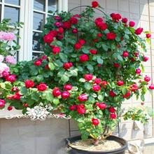 藤本月季花苗龙沙宝石蔷薇爬藤植物别墅庭院拱门栏杆阳台爬墙大苗