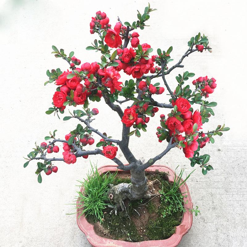 海棠花树苗