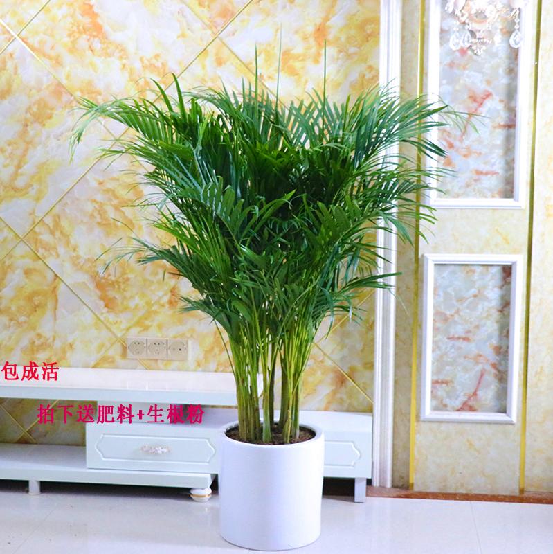 客廳綠植室內大盆栽