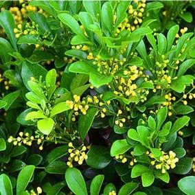 包邮包活原土米兰花盆栽苗植物室内香味四季开花不断浓郁香的花卉