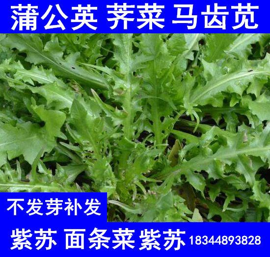 四季种野生菜马齿苋种子庭院盆栽菜籽麻绳荠菜长寿菜面条菜蒲公英