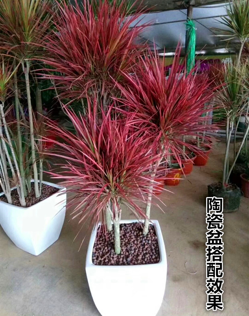 三色龙血树_大型客厅绿植物五彩千年木室内花卉七彩铁盆栽三色龙血树红竹观叶