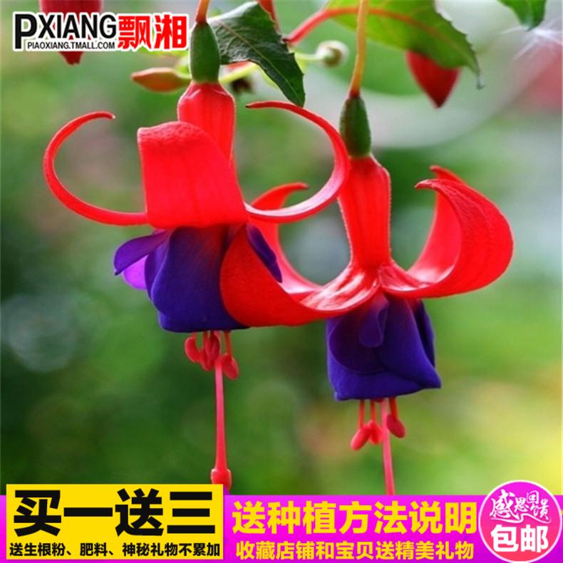 海棠吊钟花