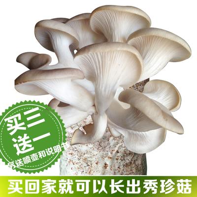 蘑菇女王秀珍菇食用菌包蘑菇种植包种子菌包菌种家庭养植食用菌种