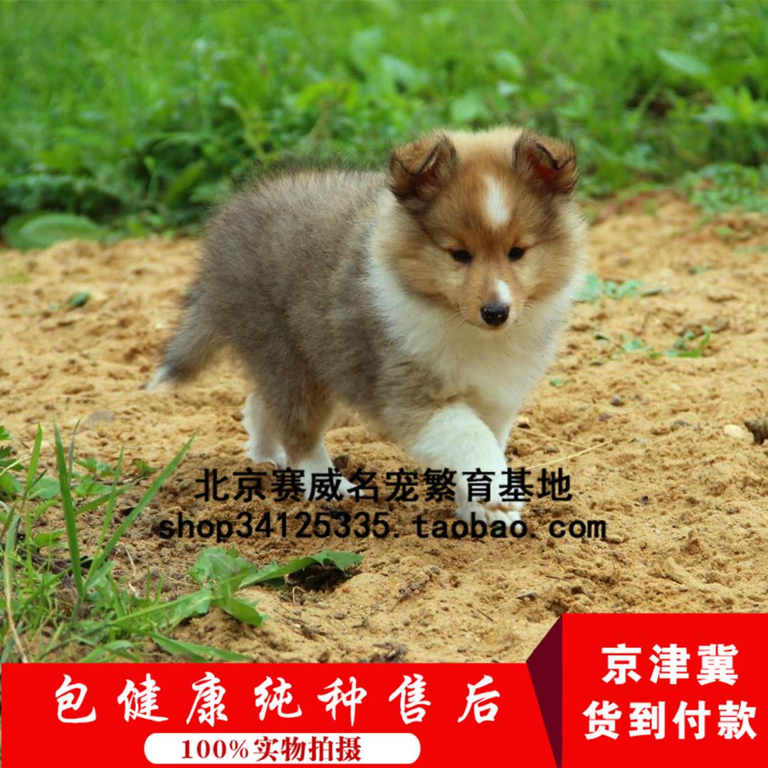 北京出售纯种苏格兰牧羊犬幼犬纯种活体英系中型苏牧幼犬宠物狗