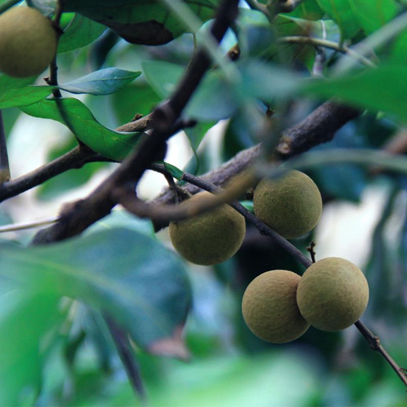 龙眼新鲜5斤包邮2件10斤桂圆石峡非广东当季现摘现发水果广西灵山