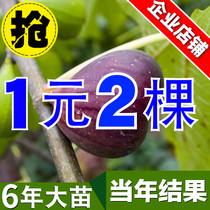 无花果树苗盆栽地栽波姬红日本紫果南方北方种植果树苗当年结果