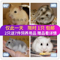 Buy 1 Send 6 special pet hamster Living Live baby third line silver Fox Pudding Purple Barn Bag Live
