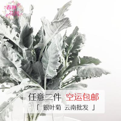 【春琳花房】新鲜银叶菊鲜花直批婚礼婚庆花店用花花束配花插花
