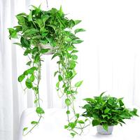 绿萝盆栽室内植物净化空气长藤绿萝植物办公室盆栽绿色植物绿箩