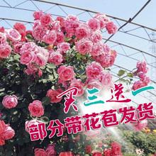 欧月藤本月季盆栽蔷薇花苗四季开花粉色龙沙宝石庭院阳台爬藤植物