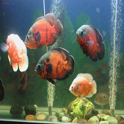 黑地图鱼白地图鱼星丽鱼花猪仔鱼热带观赏鱼活体