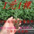 月季花苗 盆栽