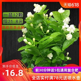 茉莉花盆栽花卉植物室内带花苞园艺庭院好养的花四季开花不断花苗图片