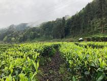 袋装毛峰其它绿茶永绿花茶90新品中国乐山市大陆包装四川省