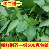 包邮 河南新鲜荆芥菜500克大叶荆芥茎芥菜新鲜调味菜现摘发货冰鲜